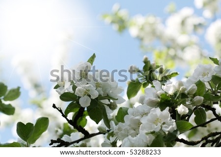 Blossoming apple tree - stock photo