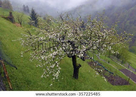 blossoming apple tree on the hillside - stock photo