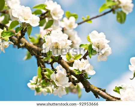 blossoming apple tree with white flowers on blue sky background - stock photo