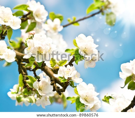 blossoming apple tree with white flowers over blue sunny sky