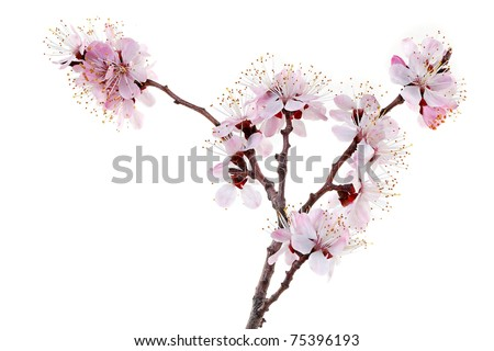 Blossoming apricot - stock photo