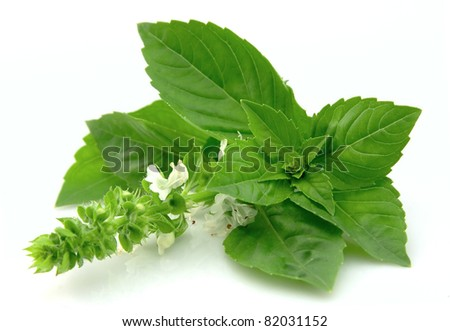 Blossoming basil on a white background - stock photo