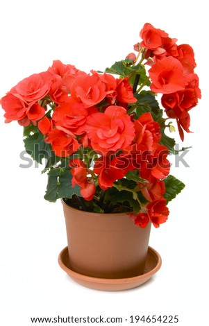 Blossoming begonia isolated on white background - stock photo