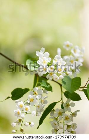 Blossoming bird cherry  - stock photo