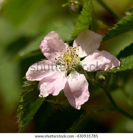 Blossoming blackberry bush in the garden - stock photo
