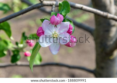 Blossoming branch of a apple tree is photographed close up - stock photo