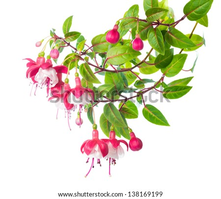 blossoming branch of a fuchsia, `Alwin` - stock photo