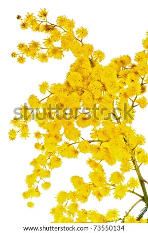Blossoming branch of a mimosa, it is isolated on white - stock photo