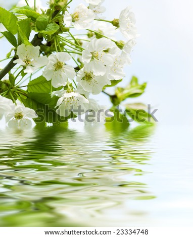 blossoming branch of an cherry-tree - stock photo