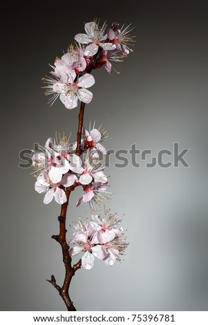 Blossoming branch of an Oriental cherry - stock photo