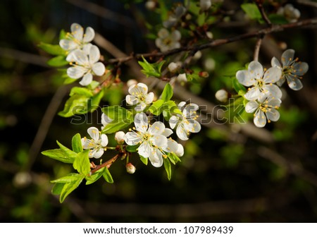 blossoming branch of cherry tree - stock photo