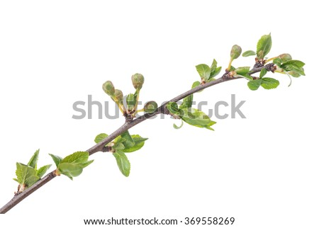 Blossoming buds on tree branch isolated on white background - stock photo