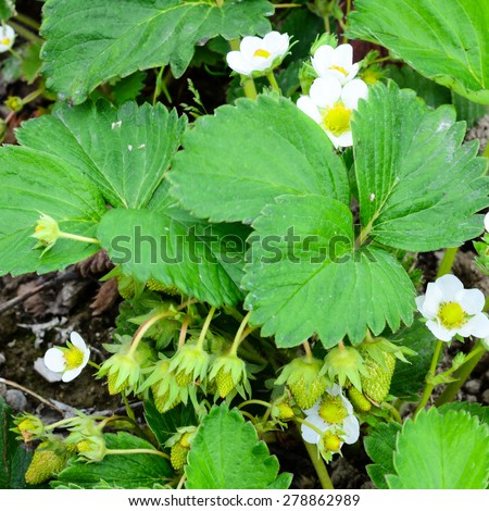 Blossoming bush of strawberry in Puyallup, Washington, USA. Once they bloom, it takes 35 days for a strawberry to grow. - stock photo