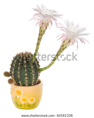 blossoming cactus in pot - stock photo