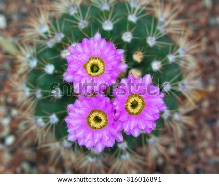 blossoming cactus with violet flowers, the top view - stock photo