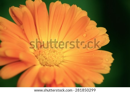 Blossoming calendula. Bright orange marigold flower with water droplets on the petals close up. Shallow depth of field. Selective focus. The effect of soft focus. - stock photo