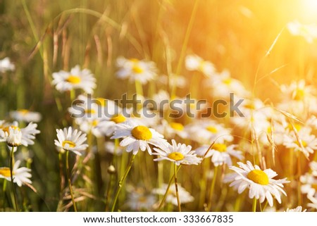 blossoming camomiles on a summer meadow lit with the sun - stock photo