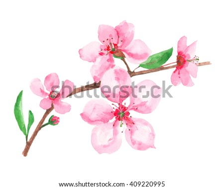 blossoming cherry branch on a white background, watercolor illustration