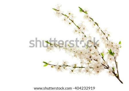 Blossoming cherry branches. Isolated on white background .