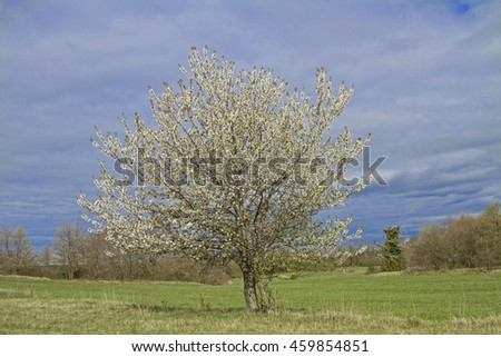 Blossoming cherry tree in spring - stock photo