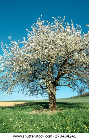 Blossoming cherry tree in spring on green field with blue sky - stock photo