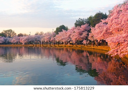 Blossoming cherry trees at dawn around Tidal Basin, Washington DC. Cherry trees in full blossom around Tidal Basin lightened by the rising sun.  - stock photo