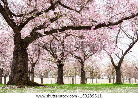 Blossoming cherry trees in an ornamental garden, pastel colors with dreamy feel - stock photo