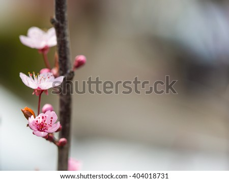 blossoming cherry twig
