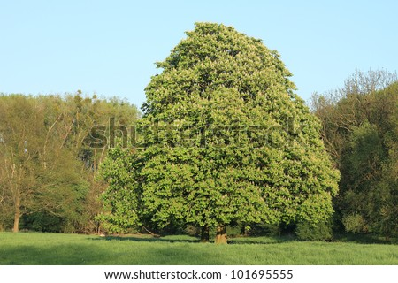 Blossoming chestnut in a floodplain, in spring - stock photo