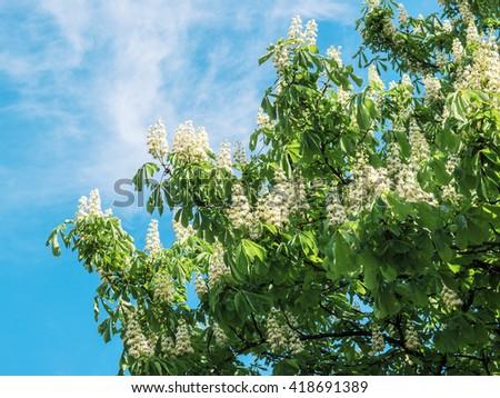 blossoming chestnut in Kiev, Ukraine - stock photo