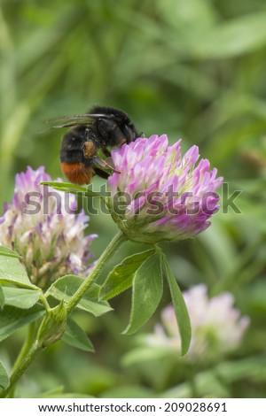 Blossoming clover (Trifolium) and red-tailed bumblebee (Bombus lapidarius) - stock photo