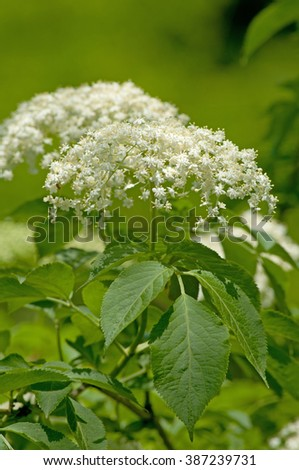 Blossoming elder flower- shallow deep of field,  Harvested in May and June, dried in a windy place and used in tea to treat bronchitis, coughs, upper respiratory infections, fever, insomnia .... - stock photo