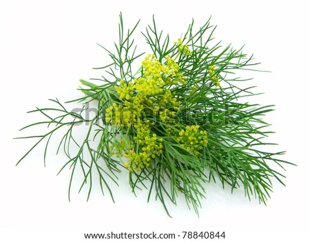 Blossoming fennel on a white background - stock photo
