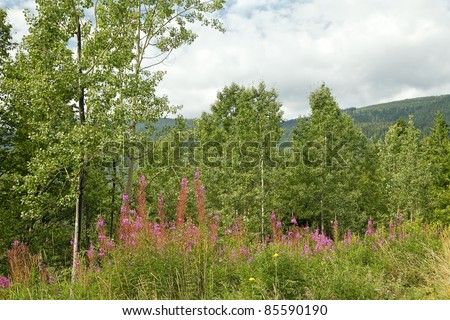 Blossoming fire-weed on the mountains covered with wood background