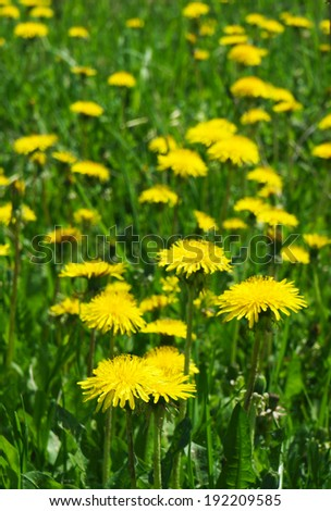 Blossoming flower dandelions in the garden in a spring season - stock photo
