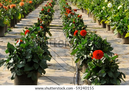 blossoming flowers in a plant nursery