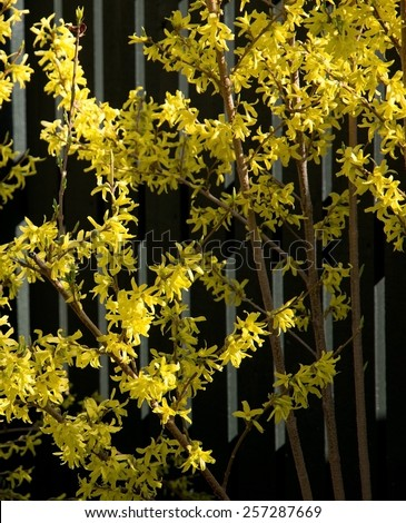 Blossoming forsythia closeup, Sweden in May.  - stock photo