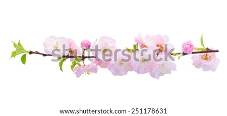 Blossoming fresh pink sacura cherry  tree branches with flowers against white background