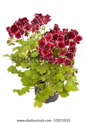 blossoming geranium in pot - stock photo