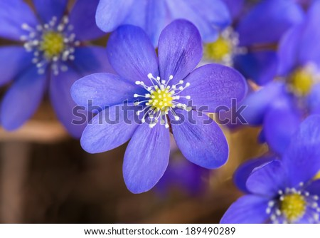 Blossoming hepatica in spring on forest floor - stock photo