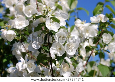 Blossoming jasmin in a garden in solar weather - stock photo