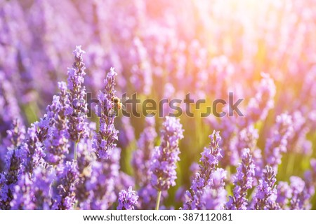 Blossoming lavender at the field in sunshine - Valensole, Provence, France - stock photo