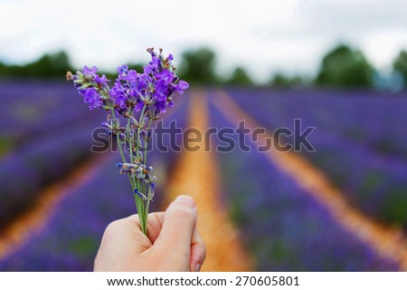 Blossoming lavender fields in Provence, France. On summer sunny day. - stock photo