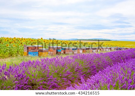 Blossoming Lavender fields in Valensole plateau in Provence, France on sunset. Beautiful view on rows and provencal houses. Popular place for traveling and tourists in summer. - stock photo