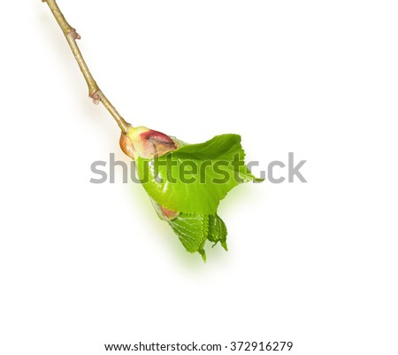blossoming leaf on the fresh branch isolated - stock photo