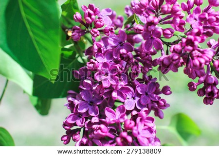 Blossoming lilac. A branch of lilac in the garden. May Flowers. Lilac flower with five petals. Wallpapers. - stock photo