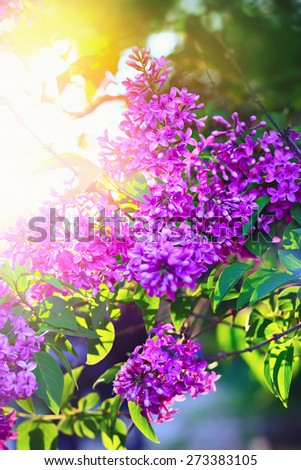 Blossoming lilac flowers and sun shining through the leaves. Bright natural green and purple color. Springtime background. - stock photo
