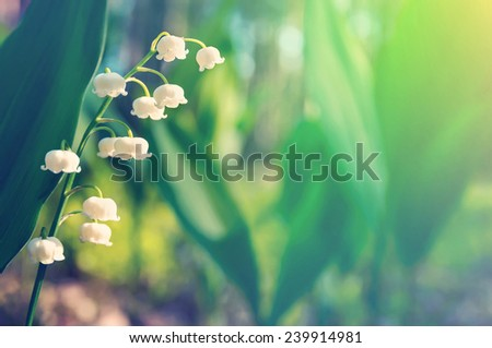 Blossoming lilies of the valley in a sunny forest - stock photo