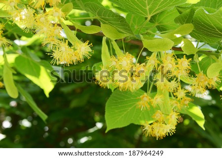 Blossoming linden tree (lime tree - stock photo