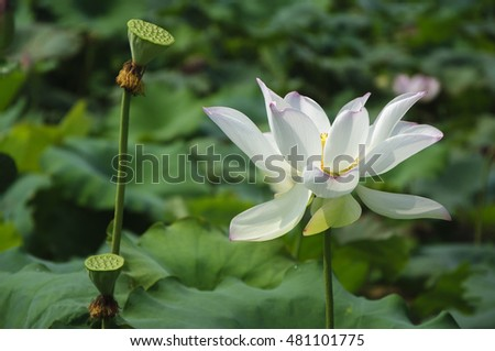 Blossoming lotus flowers closeup